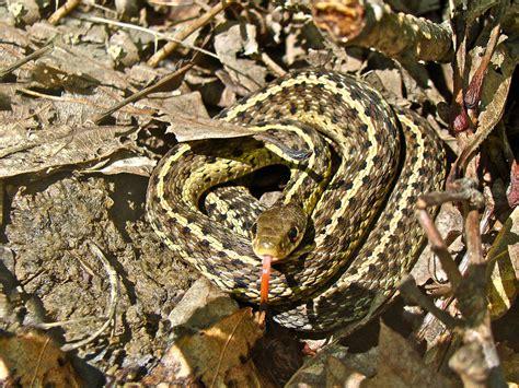 Garter Snake Juvenile Pictures Juvenile Eastern Garter Snake Thamnophis Sirtalis