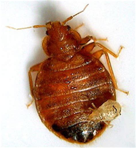 bomb for bed bugs bug bombs and foggers are a bust for bed bugs sterns