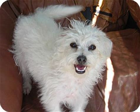 Maltese In Chinese | acton ca maltese chinese crested mix meet marsha a dog