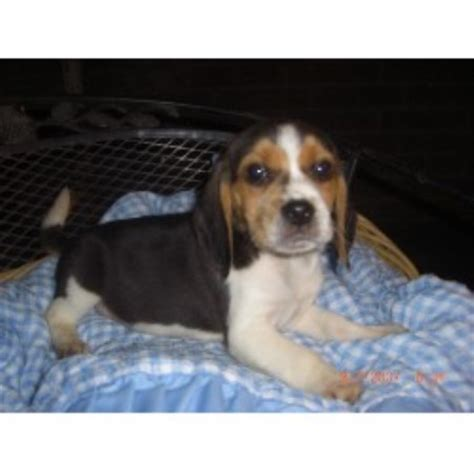 beagle puppies for sale in california pilcher s pups beagle breeder in fresno california listing id 21118