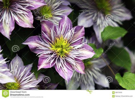 fiori colore viola piante ricanti con fiori viola fiori colore viola