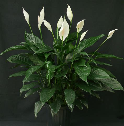 Zimmerpflanzen Dunkle Standorte by Zimmerpflanzen F 252 R Wenig Licht 25 Gr 252 Ne Und Bl 252 Hende Arten