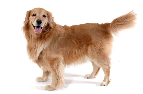 how big are golden retrievers big golden retriever images frompo 1