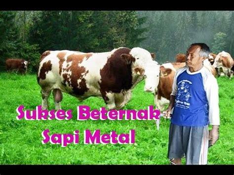 Sukses Bisnis Dan Beternak Sapi Potong peternak sapi sukses cara berternak sapi limosin dan sapi metal sapi potong sapi terbesar