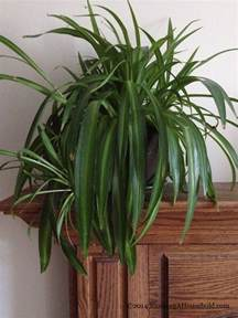 growing spider plants archives running a household