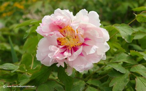 pictures of flowers peony pictures peony flower pictures