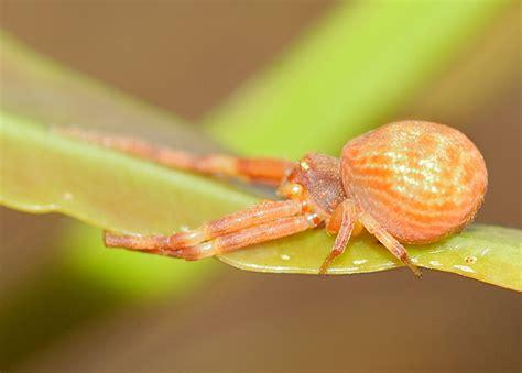 orange crab spider zygometis  diaea sp
