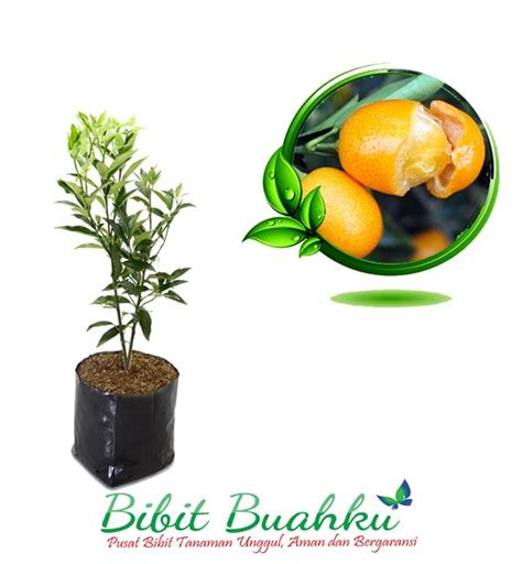 bibit tanaman jeruk nagami unggul kecil sampai berbuah