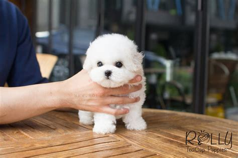 rolly teacup puppies for sale alex bichon rolly teacup puppies