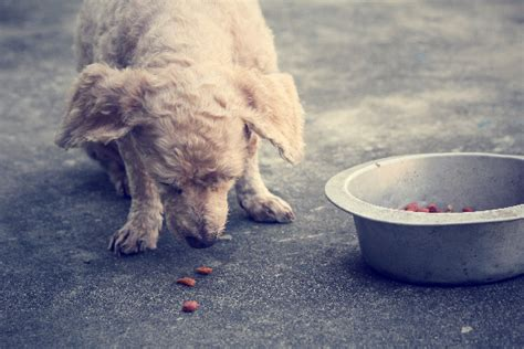 dog eating from bowl purina goes to court did its beneful dog food kill 4 000