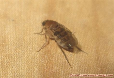 fruit fly like bugs in bathroom super mutant fruit flies on steroids red worm composting
