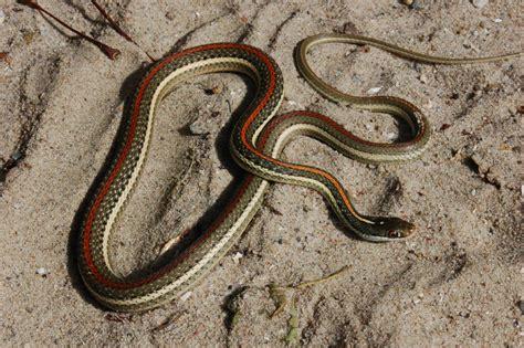 Garden Snake With Stripe Redstripe Ribbon Snake Steven Bol Garter Snakes