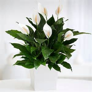 potted calla lily and other flowers plants at proplants com