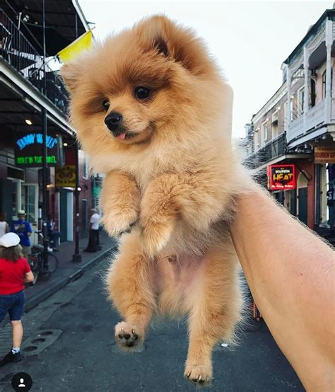 kong the pomeranian 307 best youtubers images on