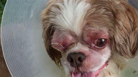 eye drops for shih tzu a shih tzu bites the owner whenever he applies eye drops corneal ulcer