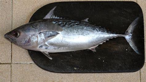 jenis jenis ikan laut  populer  dikonsumsi kepogaul