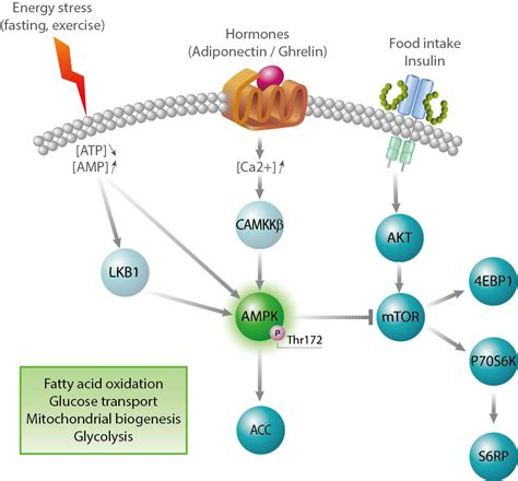protein kinase a function k signaling pathway foto 2017