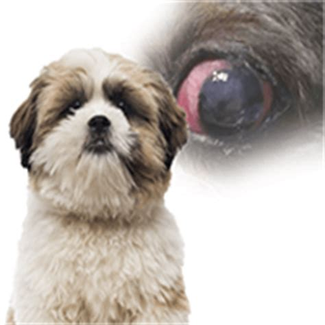 shih tzu eye discharge eye in shih tzu dogs could be an indication of a more serious issue