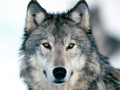 what color are wolves sault tribe encouraged by state appeals court wolf hunt