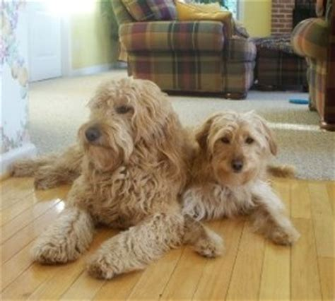 bailey doodle club the gallery for gt goldendoodle size