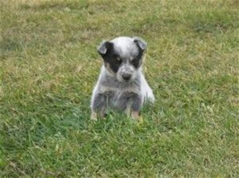 mini blue heeler puppies for sale miniature blue heeler puppies for sale baby animals miniature