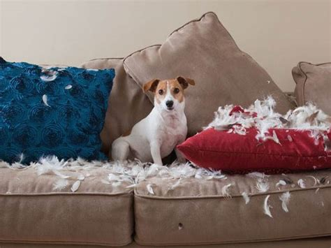 dog eating couch tips to stop pets from destroying your nice stuff today com