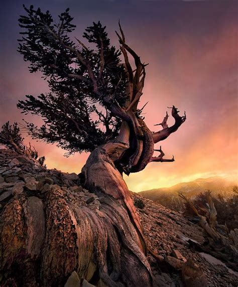bristlecone pine tree california mystic 17 best images about bristlecone pine on