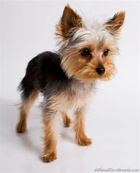 all yorkie breeds terrier terrier small dogs