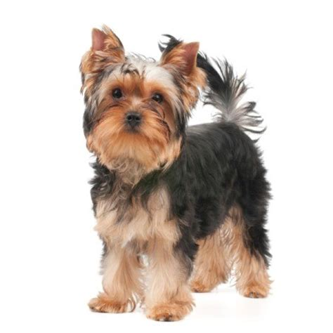 yorkie puppy facts terrier breed information and photos thriftyfun