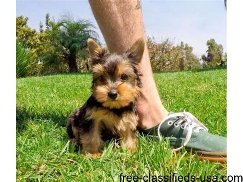 yorkie puppies in alabama gorgeous two teacup yorkie puppies for re homing animals