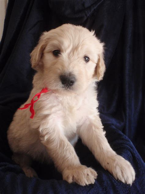goldendoodle puppies for sale in sc goldendoodle puppies for sale