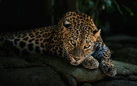 animal leopard hd desktop background wallpaper hd wallpapers