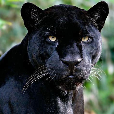 imagenes animales peligrosos animales salvajes 2 panteras pinterest animales