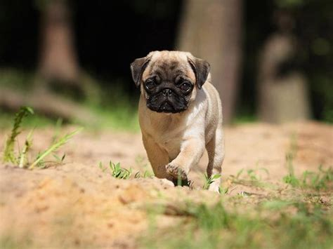 pug screensavers pug wallpaper screensaver background pug