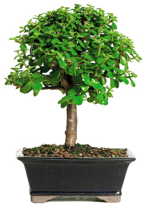 brussels bonsai dwarf jade bonsai tree reviews houzz