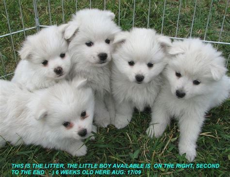 american eskimo puppies for sale 1000 ideas about american eskimo puppy on american eskimo fluffy