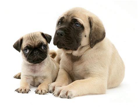 mastiff and pug mix mastiff great dane mix mastiff pug and