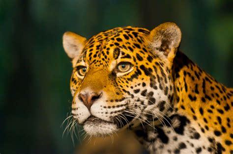 imagenes de la jaguar autobiograf 237 a de un jaguar revista destakados