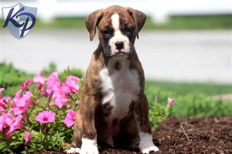 boxer puppies pa rex boxer puppies for sale in pa keystone puppies boxer puppies