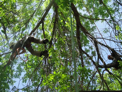 tree trimming tree trimming houston tx hollow tree service