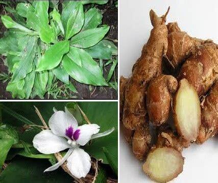 Minyak Atsiri Kencur manfaat kencur bagi kesehatan tubuh dan kecantikan