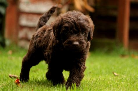 doodle puppies for sale scotland brown labradoodle puppy puppies puppy