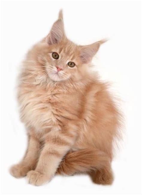 Kitten Mainecoon maine coon katze charakter farben zucht markt de