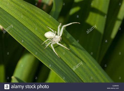 White Garden Spider Uk A White Crab Spider Basks In The Sun In A Uk Garden