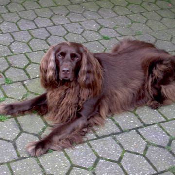 Alt Deutsche Hutte Hond by German Longhaired Pointer Langhaar