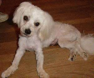 Southern Comfort Maltese Rescue Kip S Story