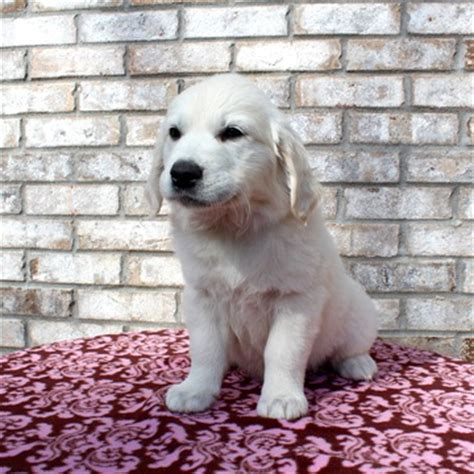 golden retrievers alabama view ad golden retriever puppy for sale alabama fairhope
