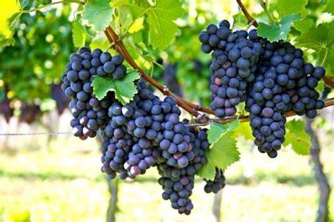 imagenes de uvas naturales c 243 mo cultivar uvas en tu casa notas la biogu 237 a