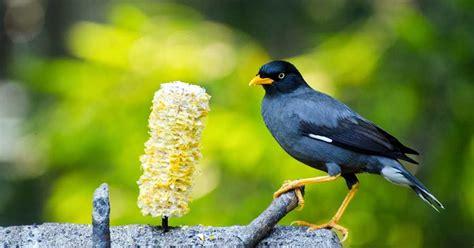 Harga Pakan Burung Jalak Suren jalak kebo burung hobi