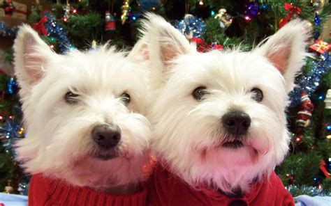 white terrier puppies two west highland white terrier dogs photo and wallpaper beautiful two west highland